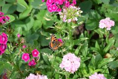 Butterfly sitting on carnation flowers stock images