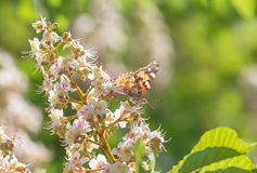Butterfly sitting on chestnut tree blossoming. Brown butterfly sitting on chestnut tree blossoming royalty free stock photography