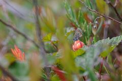 Butterfly sitting on cloudberry Stock Images