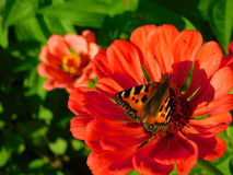 Butterfly sitting on a colourful flower. Butterfly picking up a nectar on a flower on a sunny day stock image