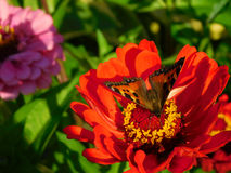 Butterfly sitting on a colourful flower. Butterfly picking up a nectar on a flower on a sunny day royalty free stock photos