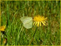 A butterfly sitting on a dandelion in the sun. The Swedish nature during may month royalty free stock images
