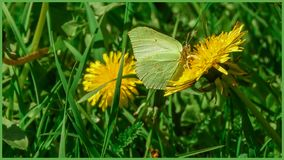 A butterfly sitting on a dandelion in the sun. The Swedish nature during may month royalty free stock photos