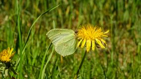 A butterfly sitting on a dandelion in the sun. The Swedish nature during may month royalty free stock photography