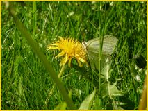 A butterfly sitting on a dandelion in the sun. The Swedish nature during may month royalty free stock image