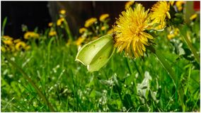 A butterfly sitting on a dandelion in the sun. The Swedish nature during may month royalty free stock photo