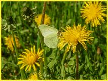 A butterfly sitting on a dandelion in the sun. The Swedish nature during may month stock photo