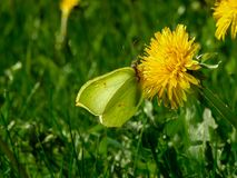 A butterfly sitting on a dandelion in the sun. The Swedish nature during may month stock images