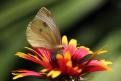 Butterfly sitting on echinacea. White cabbage butterfly sitting on echinacea Stock Photos