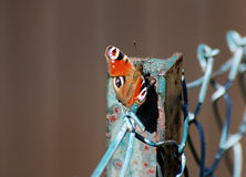 Butterfly sitting on a fence. A red Butterfly sitting on a fence royalty free stock photos