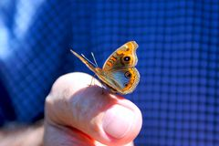 Butterfly sitting on finger. Butterfly sitting on mans finger. Taken in Iguacu, Brazil Stock Photography