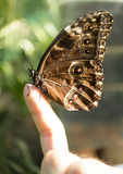 Butterfly on finger Royalty Free Stock Images