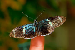 Butterfly sitting on finger, natural background Stock Image