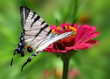 Butterfly sitting on flower. Butterfly (Scarce Swallowtail) sitting on flower Royalty Free Stock Photos