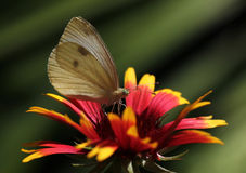 Butterfly sitting on flower. White cabbage butterfly sitting on echinacea Royalty Free Stock Image