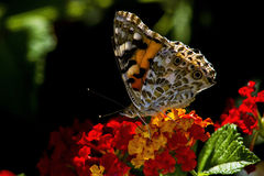 Butterfly. Sitting on a Flower Stock Photos