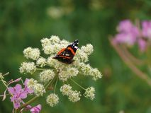 The butterfly sitting on a flower. Nature royalty free stock photos