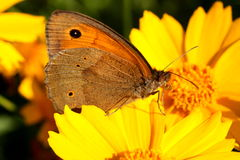 A butterfly. Sitting on a flower Royalty Free Stock Image