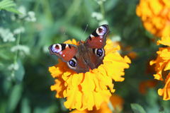 Butterfly. Sitting on a flower stock images