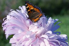 Butterfly sitting on a flower Astra pink. Green background. royalty free stock image