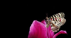 Butterfly sitting on a flower on a black background. butterfly southern festoon. copy spaces. Butterfly sitting on a flower on a black background. butterfly stock photography