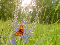 Butterfly sitting on a flower on a forest background. Butterfly sitting on a flower royalty free stock images