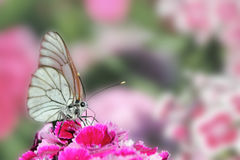 Butterfly sitting on flower carnation Stock Photos