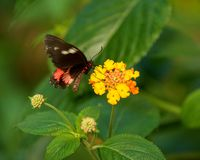 Butterfly sitting on a flower close-up Royalty Free Stock Photos