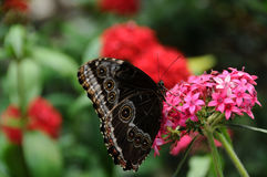 Butterfly Sitting on Flower CLose Up. Close up of butterfly drinking nectar from pink and red flowers Royalty Free Stock Image