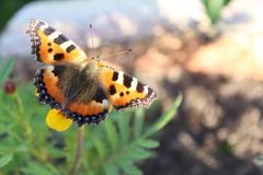 Butterfly sitting on a flower close-up outdoor. Butterfly - Aglais urticae royalty free stock images