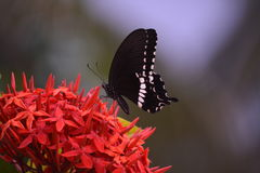 Butterfly. Sitting on flower collecting nectar Royalty Free Stock Images