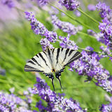 Butterfly sitting on flower lavender Stock Images