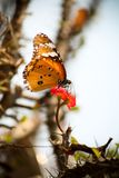 A butterfly sucking nectar from a flower. A butterfly sitting on a flower sucking nectar from a flower in between thorns royalty free stock photo