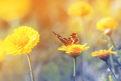 Butterfly sitting on a flower for Sunny summer meadow. Butterfly sitting on a yellow flower for Sunny summer meadow stock photography