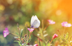 Butterfly sitting on a flower for Sunny summer meadow. Butterfly sitting on a yellow flower for Sunny summer meadow royalty free stock photos