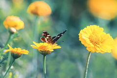 Butterfly sitting on a flower for Sunny summer meadow. Butterfly sitting on a yellow flower for Sunny summer meadow royalty free stock photography