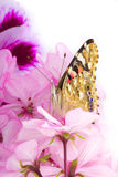 Butterfly sitting on flowers Royalty Free Stock Photography