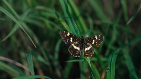 BUTTERFLY. Sitting on the grass Royalty Free Stock Image