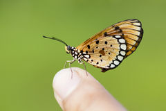 Butterfly sitting. On Green background royalty free stock photo
