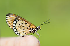 Butterfly sitting. On Green background stock photography