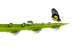 Butterfly sitting on green grass with dew drops Stock Images