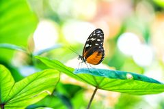 Butterfly sitting on green leaf in Key West, USA. On sunny summer day. Insect or moth with black colored wings and white eyespots on natural background. Beauty royalty free stock image