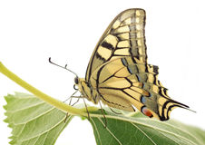 Butterfly sitting on green leaf Stock Image