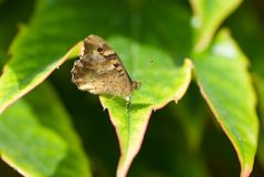 Butterfly sitting on the green leave. Beautiful butterfly. Insect in the natural habitat. In Spanish forest royalty free stock photos