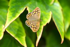 Butterfly sitting on the green leave. Beautiful butterfly. Insect in the natural habitat. In spanish forest stock image