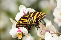 Butterfly sitting on the green leave. Butterfly Papilio pilumnus, in the nature green forest habitat, south of USA, Arizona. Royalty Free Stock Photos