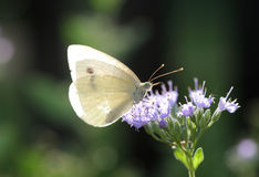 Butterfly sitting on a grey twig Royalty Free Stock Image