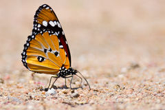 Butterfly sitting on ground Stock Images