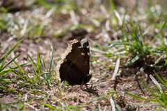 Butterfly sitting on the ground in the sun. A beautiful butterfly sitting in grass on the ground in the sun stock photography
