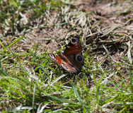 Butterfly sitting on the ground in the sun. A beautiful butterfly sitting in grass on the ground in the sun stock photos